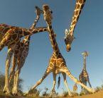 dope giraffes