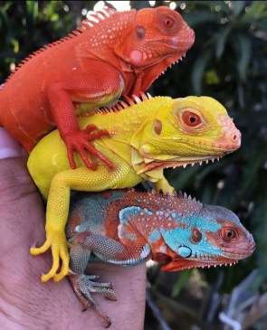 rainbow lizards
