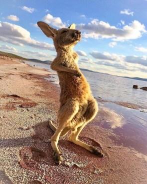 chill kangaroo