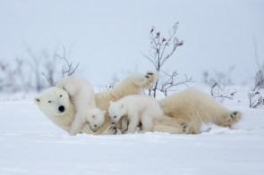 polar bear family.jpg