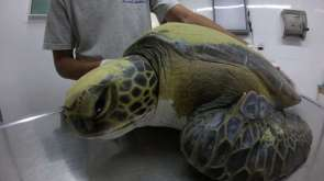 A Rescued Green Turtle Pooped Out Plastic Trash For Weeks
