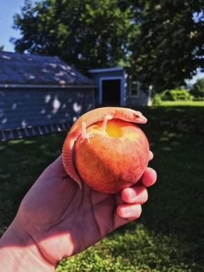 peach lizard