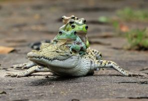 Frogs piggybacking on a caiman