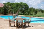 Giraffe in a Pool