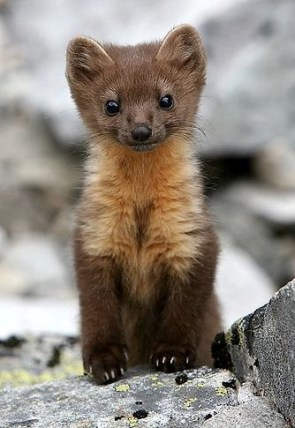 baby weasel