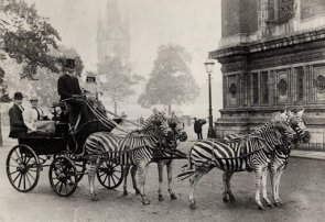 Zebra-drawn carriage