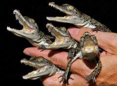 Finger crocs