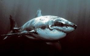 Shark veteran