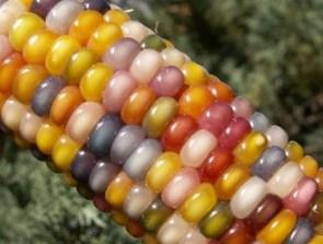 Multicultural Maize