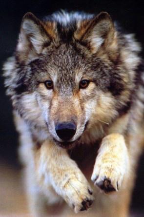wolf jump