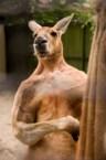 super kangaroo