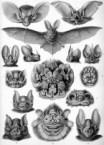 Ernst Haeckel's bats