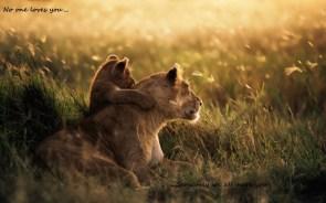 Lion parent