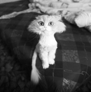 Hammerhead Cat