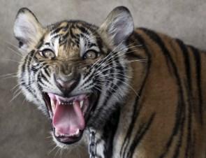 stripped tiger