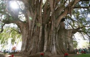 Montezuma Cypress – stoutest tree in the world