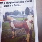 Photobombing cow