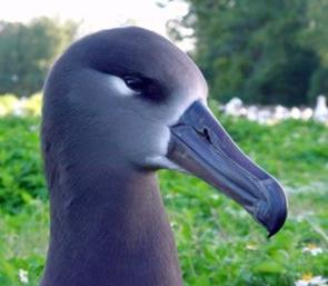 black albatross