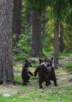 3 bear cubs