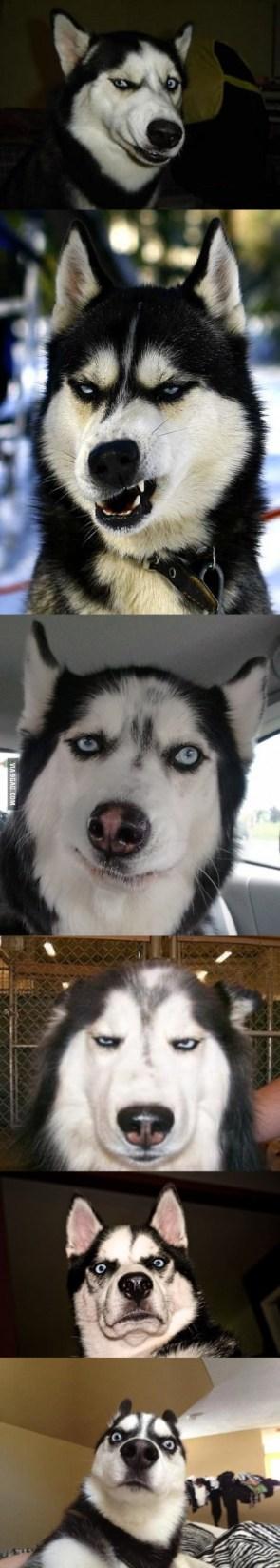 Expressive Husky