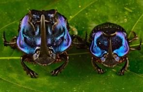 Rhino beetle & son