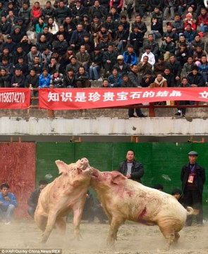 Chinese Pig Fighting