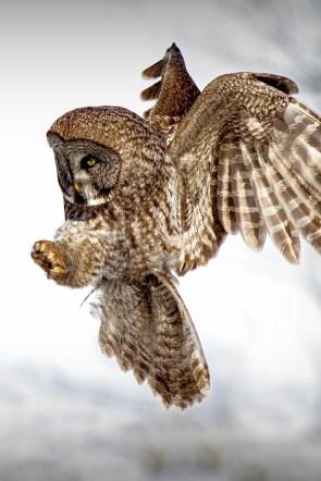 Fluffed owl