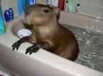 A capybara in a bathtub