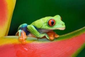 Goofy frog