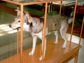 Anti-tank dogs