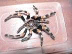 Tarantula Shed