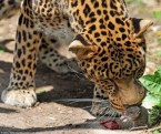 Brave mouse VS leopard