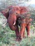 Red Elephant3.jpg