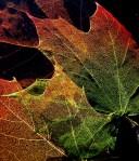 Maple_Leaves_Structure3-jurvetson.jpg