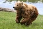 Brown_bear_(Ursus_arctos_arctos)_running.jpg