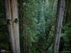 Climbing A Redwood