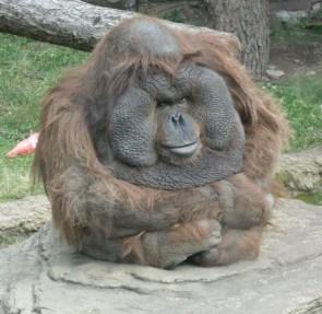 Deep Thought Orangutan