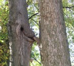 Oral Rape Tree!