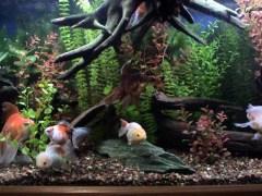 """""""Fancy Goldfish"""" Aquarium Set-up"""