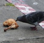 cannibal bird