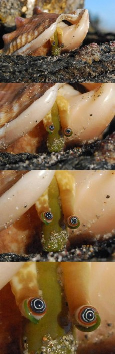 Staring mollusk