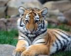 Posing Tiger Cub