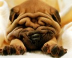 Sleeping Shar Pei