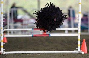 Puli Dog Jump