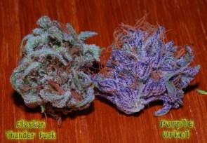 Gorgeous Buds