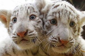 Conjoined Tigers