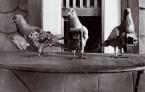 Pigeon cameras