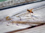 A wasp on my dock.