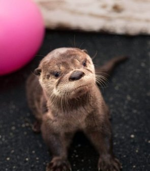look at this baby otter