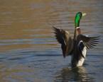 duck, goose…